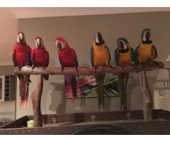 PARROTS, MACAWS AND COCKATOOS FOR SALE